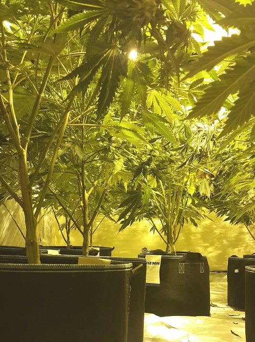 Cannabis factory found in Thornbury