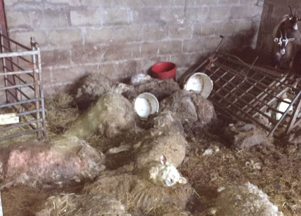 Farm owner jailed for 'animal welfare disaster' which saw sheep, pigs and cattle left to rot