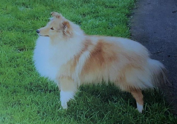 Sheltie dogs stolen in break-in